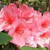 Rhododendron 'Fairy Light' - Find Azleas,Camellias,Hydrangea and Rhododendrons at Loder Plants